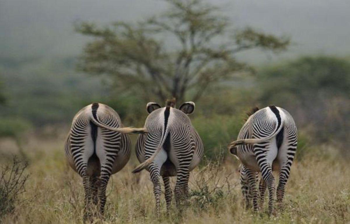 Reconnaissable à ses grandes oreilles arrondies et à ses rayures plus fines et plus serrées, le zèbre de Grévy est le plus grand des trois espèces de zèbres mais surtout le plus menacé, notamment par la concurrence avec le bétail pour les pâturages. – Tony Karumba afp.com