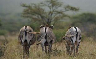 Reconnaissable à ses grandes oreilles arrondies et à ses rayures plus fines et plus serrées, le zèbre de Grévy est le plus grand des trois espèces de zèbres mais surtout le plus menacé, notamment par la concurrence avec le bétail pour les pâturages.