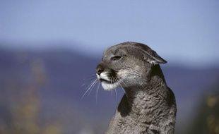 Un cougar.