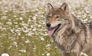 Un loup gris, l'espèce la plus répandue. Illustration.