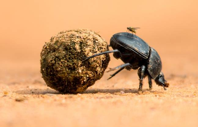 A dung beetle.