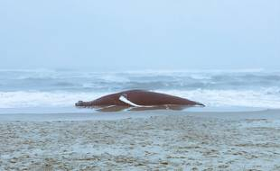 Une baleine échouée (illustration).