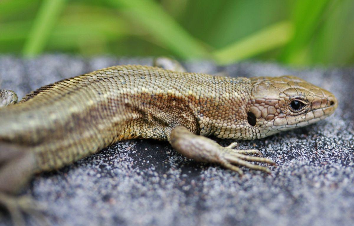 Un lézard vivipare. (Photo illustration) – Thomas Borwn / Wikimedia