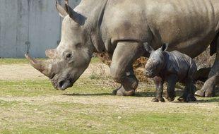 Ce petit rhinocéros blanc est né à Peaugres en Ardèche le 11 mars 2015