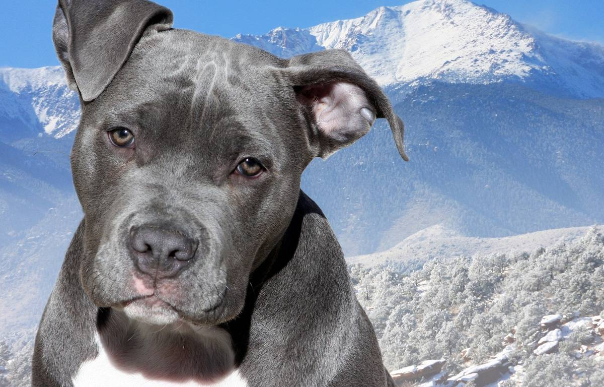 Un American Staffordshire Terrier. Illustration. – Pixabay