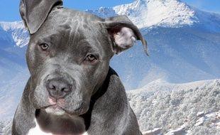 Un American Staffordshire Terrier. Illustration.