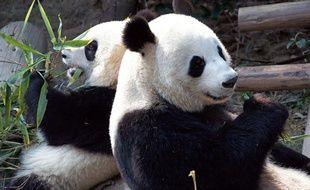 Les pandas Yuanzi et Huanhuan arrivent le 15 janvier 2012 au zoo de Beauval, dans le Loir-et-Cher.