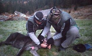 Un loup noir du Canada capturé par des agents de l'Office français de biodiversité début novembre