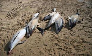 Dauphins échoués sur la plage de Cap-Breton en février 2013