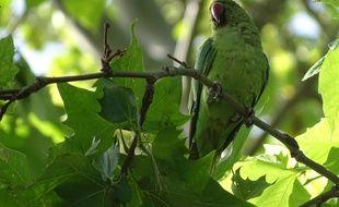 Une perruche à collier dans un arbre en Ile-de-France.