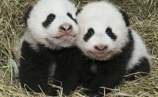 Illustration de pandas. Ici des pandas du zoo de Vienne (Autriche) le 27 octobre 2016.