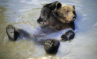 L'ours brun de souche slovène est le plus adapté au milieu pyrénéen, selon les études menées en amont des réintroductions.