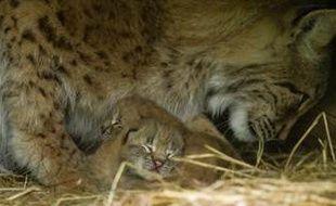 Deux chatons de lynx viennent de naître au parc animalier de Sainte-Croix. Une première depuis 2010.