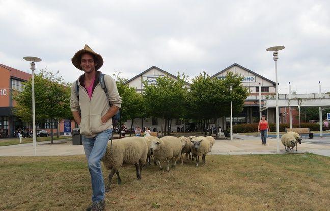 Les moutons des Bergers urbains de Seine-Saint-Denis à leur aise dans le parc de bureaux Icade-Porte de Paris.