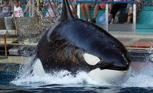 Une orque du parc Marineland (Illustration)