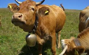 Une vache avec une cloche autour du cou. Image d'illustration.