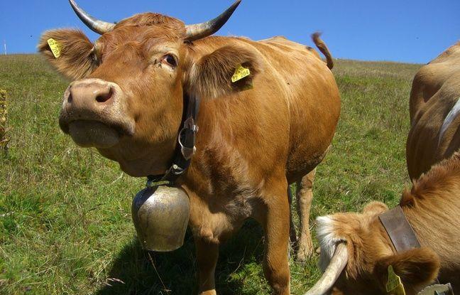 Autriche: La police traque des voleurs de cloches de vache