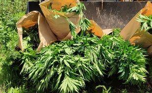 Jeudi, 141 pieds de cannabis ont été découverts et détruits