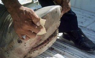 """S'il peut inspirer la terreur parmi les baigneurs, le requin atterrit plus souvent à son tour dans les assiettes, sous forme de """"fish and chips"""" ou de saumonette, à tel point que son sort préoccupe aujourd'hui les défenseurs de l'environnement."""