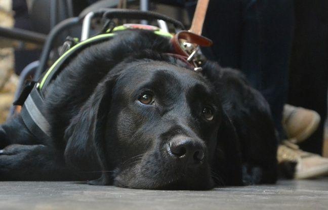 Lady, une jeune labrador chien guide.