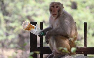 Illustration d'un singe macaque