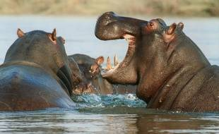 Des hippopotames (illustration).