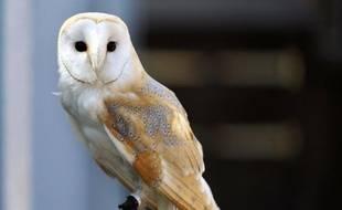 """Une chouette (ici une chouette effraie des clochers Tyto alba) fait partie des animaux soignés par le centre """"Volée de piafs"""" de Languidic, dans le Morbihan."""