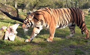 Illustration: Un tigre dans un zoo.