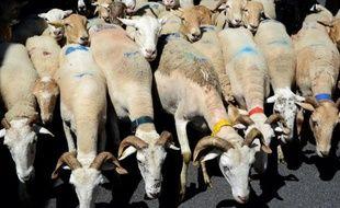 Chèvres, boucs et brebis le 28 juin 2014 lors d'une manifestation d'éleveurs à Foix contre les attaques de troupeaux par les loups, les ours et les vautours dans les Pyrénées
