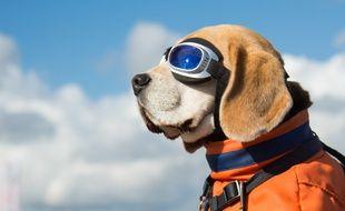 Un Beagle prend le soleil dans le panier d'un vélo.