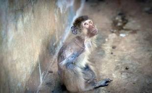 Des dizaines de milliers de singes, dont une partie illégalement capturés dans la nature, sont détenus dans des conditions épouvantables dans des fermes du Laos pour le compte de laboratoires étrangers, affirme une organisation britannique.