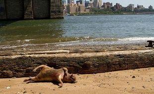Carcasse d'un animal non-identifié retrouvée à New York le 22 juillet 2012.