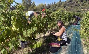 Les vendangeurs du domaine de Bellet ramasseront les raisins jusqu'aux alentours du 20 septembre