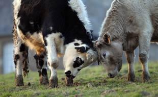 Des taureaux dans un champ. (illustration)