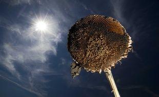 Un tournesol brûlé par le soleil. Illustration.