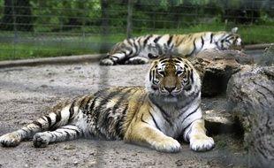 Des tigres, ici à Plaisance-du-Touch, près de Toulouse.