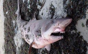 Un requin féroce s'est échoué le 21 septembre 2013 sur une plage du Morbihan.