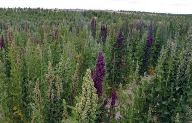 La Bolivie, principal producteur et exportateur de quinoa dans le monde, frappe désormais à la porte des marchés d'Asie et du Moyen-Orient, destinations potentielles pour un aliment à la valeur nutritionnelle exceptionnelle.