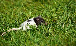 Illustration d'un rat dans des herbes. La Leptospirose se propage notamment par les urines des rongeurs.