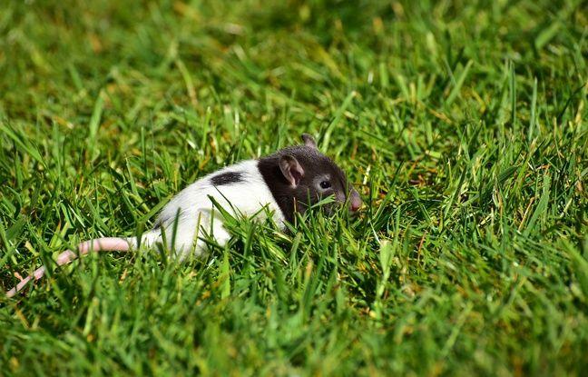 Mort d'un nageur de la «maladie des rats»: «Environ 10% des patients contaminés meurent de la leptospirose au niveau mondial»