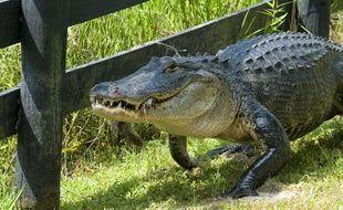 Un alligator de plus de 3 mètres a été retrouvé dans une piscine d'une famille d'Osprey, en Floride (illustration).