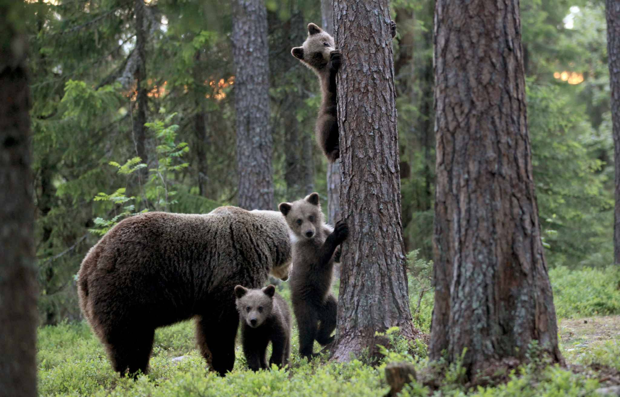 *MANDATORY BYLINE* PIC FROM Valtteri Mulkahainen/Caters News - (PICTURED: Bear cubs with their mum playing a game peek a boo as they climb the trees in a forest in Suomussalmi, Finland) - These baby bears were eager to play with the camera from behind a tree  and the resulting snaps are adorable.The mama bear was photographed with her three cubs in a forest in Suomussalmi, Finland as they enjoyed some quality family time together.Capturing the adorable close up family snaps from a hide was 57-year-old school teacher Valtteri Mulkahainen.