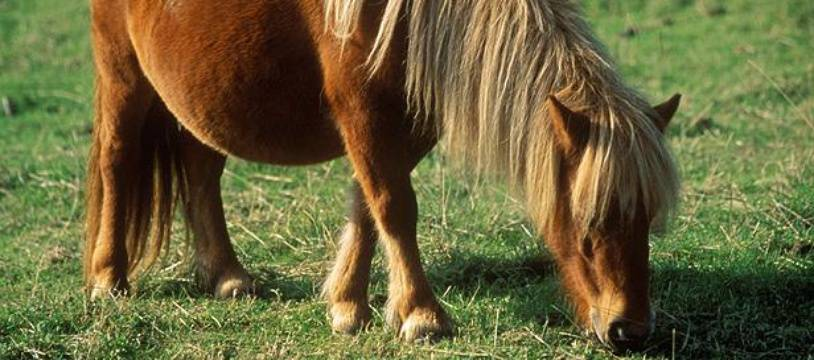 Illustration d'un poney dans un pré.