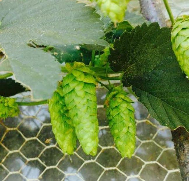 Il faut six grammes de houblon pour faire un litre de bière.