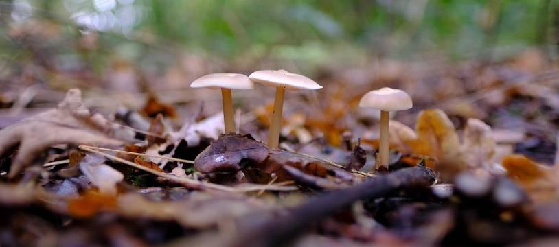 Des champignons en forêt. Illustration.