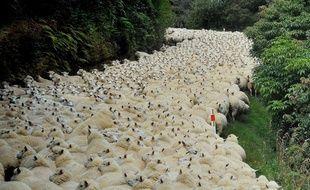 Un troupeau de moutons en Nouvelle-Zélande.