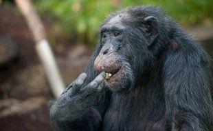Les Instituts nationaux américains de la santé (NIH) devraient ne quasiment plus utiliser de chimpanzés pour la recherche bio-médicale, recommandent des experts indépendants de ces Instituts, selon un document posté sur leur site internet.