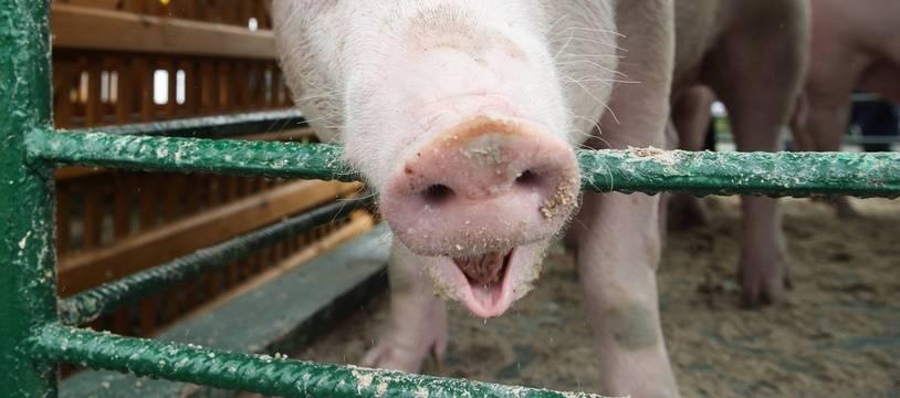 Un élevage de porcs (illustration).
