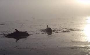 Deux dauphins communs ont été secourus au large de Cancale le dimanche 10 janvier 2020.