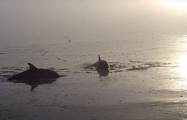 Bretagne: Deux dauphins échoués sauvés d'une mort certaine à Cancale